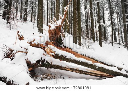 Uprooted Tree In Winter