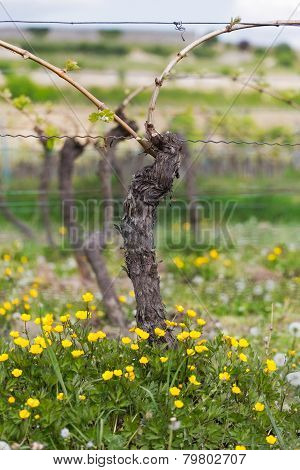 Vine with flower at summertime, Pfalz, Germany