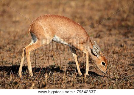 Female steenbok antelope (Raphicerus campestris), South Africa