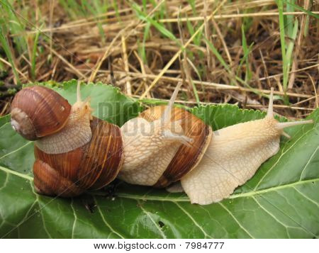 three snails on the green leaf close-up poster