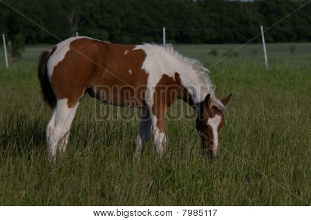 Brown white paint filly