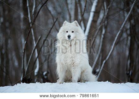 Large Dog Sitting On The Snow