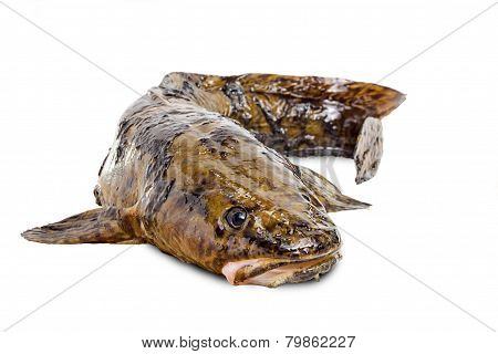 Burbot On A White Background