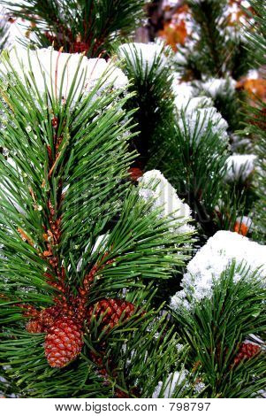 Pine cones needles snow