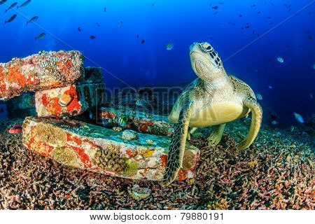 Green Turtle on a tropical reef