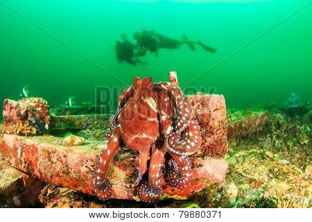 Big Octopus and SCUBA divers during an algae bloom
