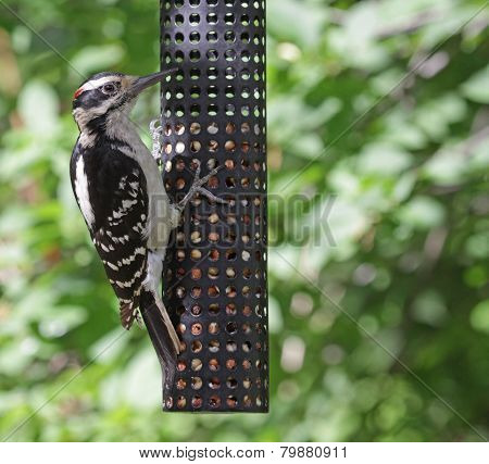 Hungry Hairy Woodpecker
