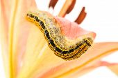 caterpillar crawling on flower , over white background poster
