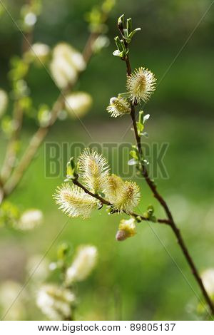 Catkins Of Sallows Are Blossom.