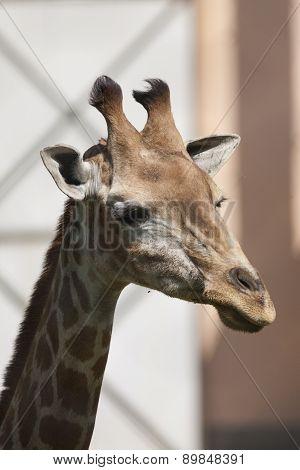Giraffe In The Jungla
