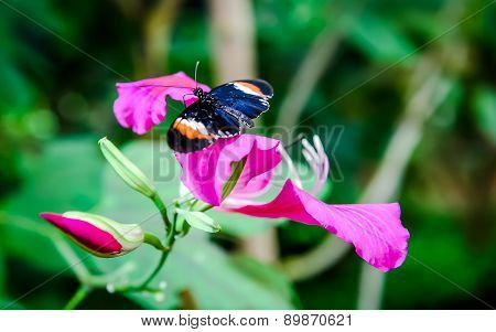 Heliconius Erato (red Postman) Butterfly On A Flower