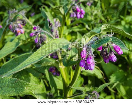Violet And Purple Blooming Common Comfrey Plants From Close