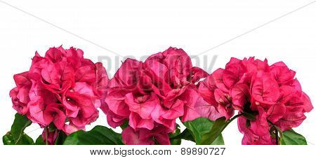 Pink summer flowers isolated border