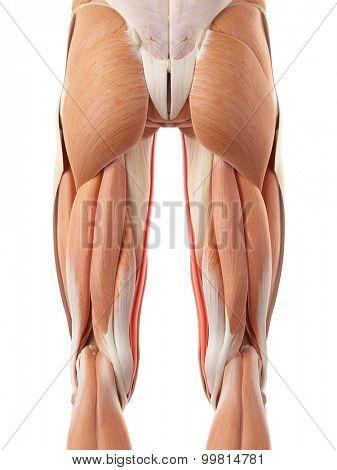 medically accurate illustration of the sartorius