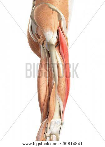 medically accurate illustration of the rectus femoris