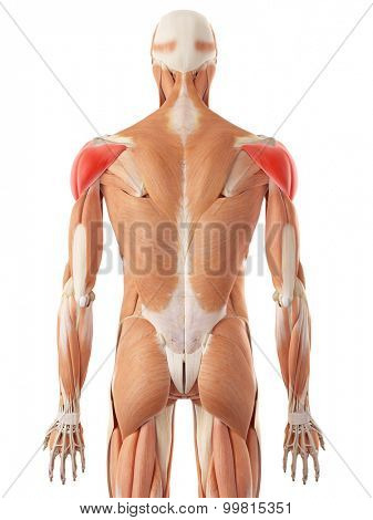 medically accurate illustration of the deltoid muscle