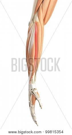 medically accurate illustration of the extensor carpi radialis brevis