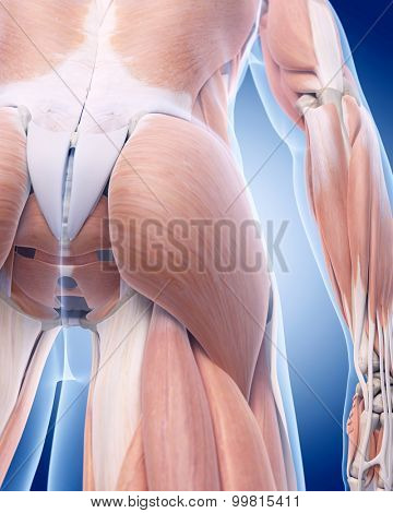 medically accurate illustration of the gluteus muscle