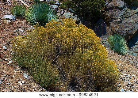 Wild Sagebrush