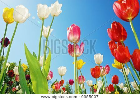 Tulips Against Blue Sky