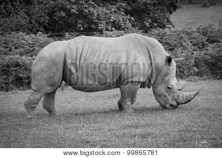 Side View Of A White Rhinoceros.