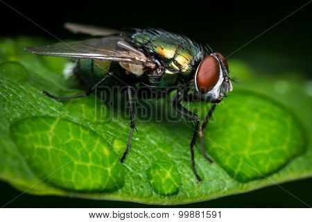 Green Bottle Fly After The Rain
