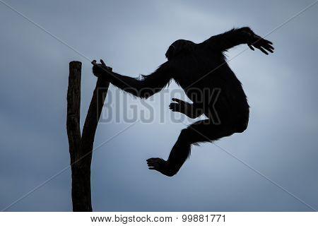Swinging Chimp
