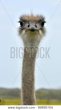 Head Of The Ostrich Close-up