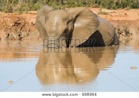 muddy african elephant having a bath with reflection in the water poster
