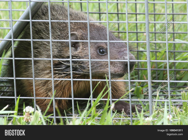 Groundhog (marmota Image & Photo (Free Trial)