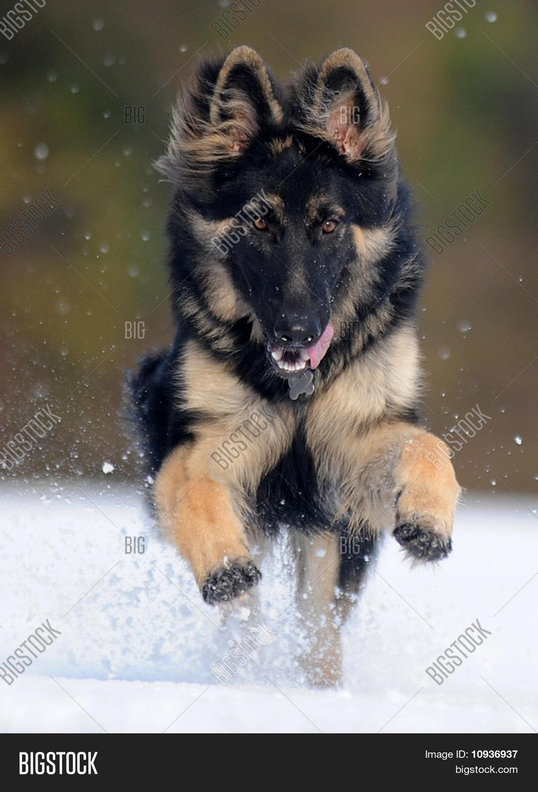 Black German Shepherd Image Photo Free Trial Bigstock