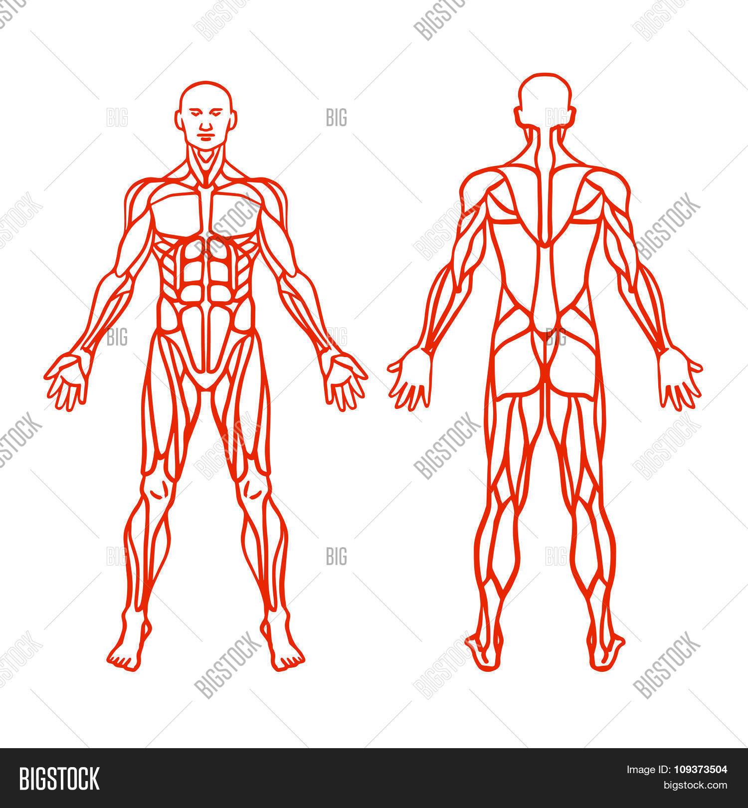 Anatomy Male Muscular Vector & Photo (Free Trial) | Bigstock