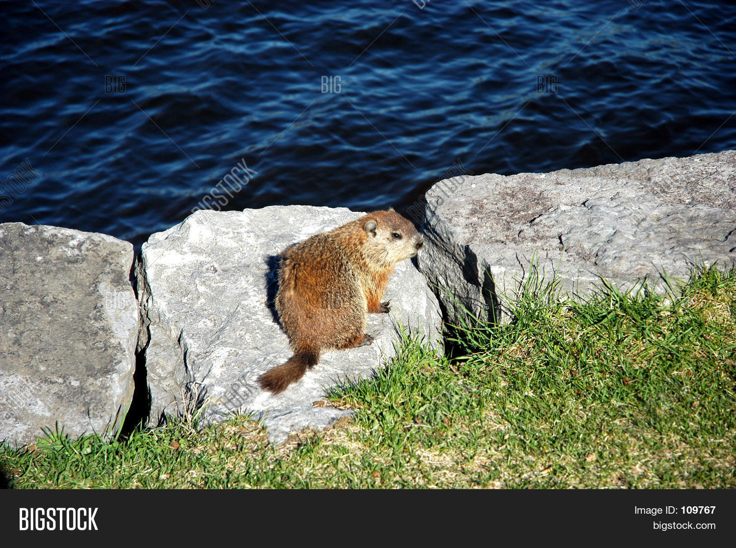 Fat Groundhog Image & Photo (Free Trial)