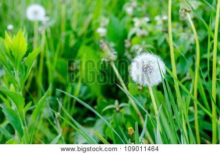 Close Up Of A Dandelion At Otatu Darden