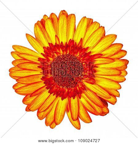 Yellow-red Gerbera Flower Isolated