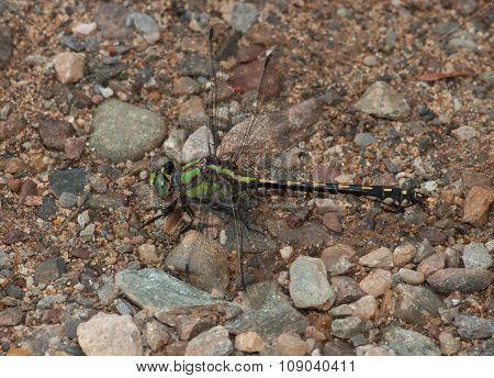 Riffle Snaketail