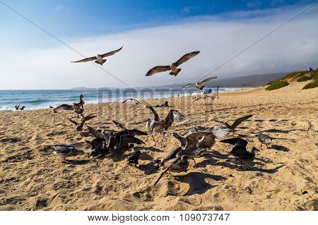Seagulls Feeding Mid-air On The Beach In Half Moon Bay In California