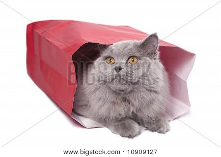 Cute British Kitten In Red Bag Isolated