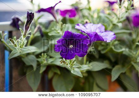 beautiful purple surfinia - blooming flower in the garden
