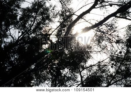 Silhouette Of Branches With Sunshines Behind