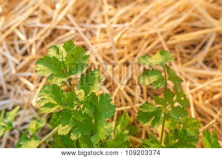 Organic agriculture of coriander with crop rotation