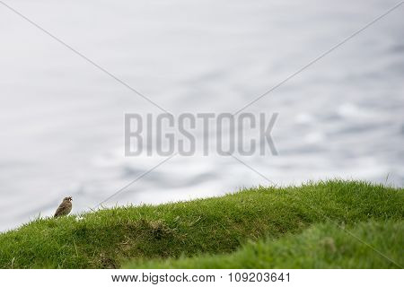 Meadow Pipit, Anthus Pratensis