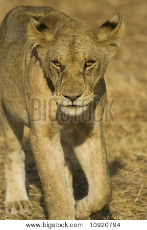 Lion In Mikumi National Park, Tanzania