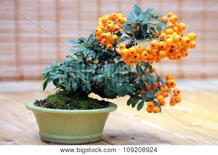Bonsai Pyracantha Angustifolia -  Tree With Bright Fruits In Pot