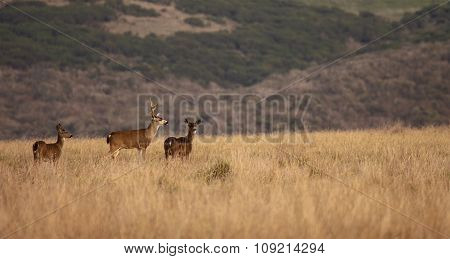 A Fallow Deer Buck With Two Does In Point Reyes National Seashore
