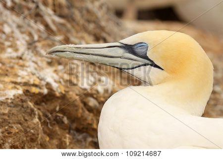 Gannet On Nest