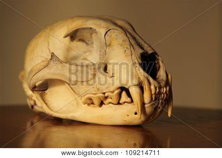 A detailed portrait of a Bobcat skull