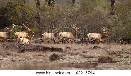 Tule Elk Bulls