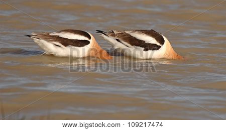 A pair of American Avocets searching for food.