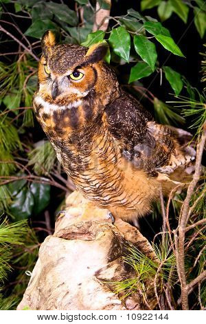 Captive Great Horned Owl Standing On Rock